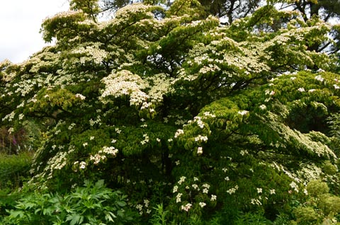 Cornus kousa June 2019 web
