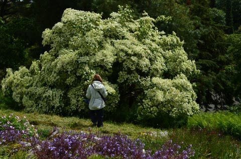 Cornus kousa chienensis Jun 2019 web